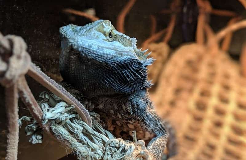 32 Strange & Interesting Facts About Bearded Dragons