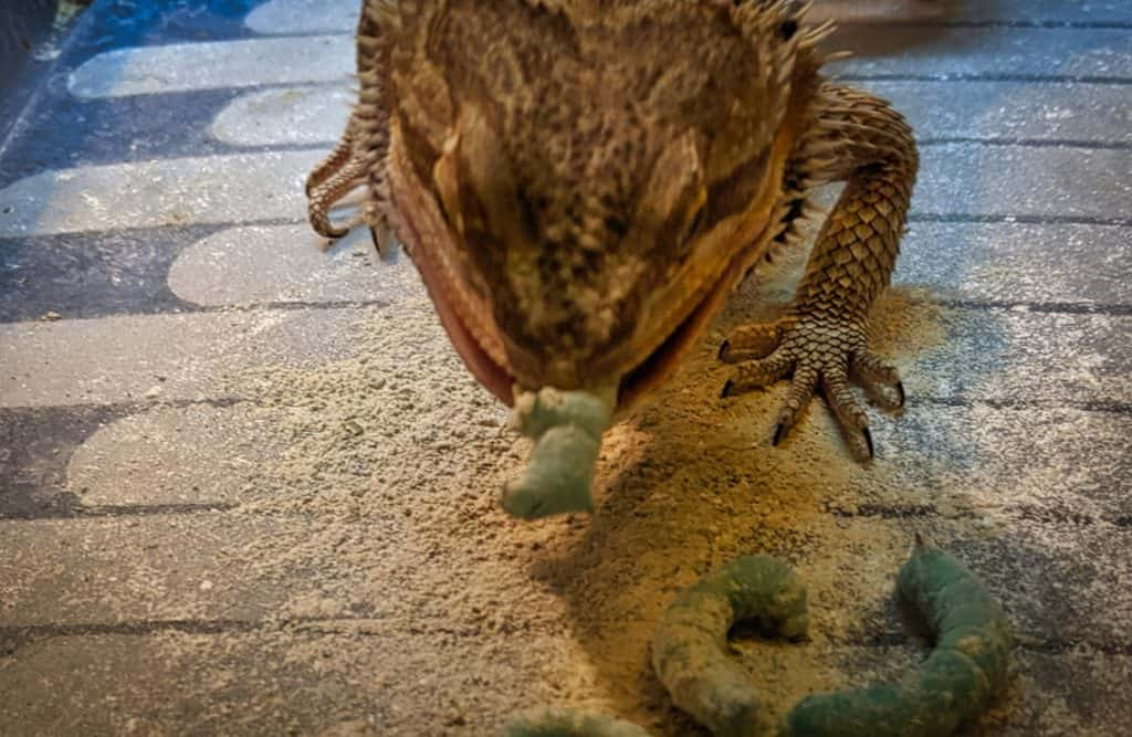 bearded dragon eating worms